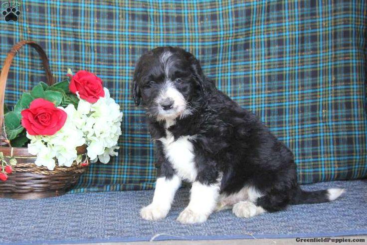 Max, Border Collie Mix Puppy