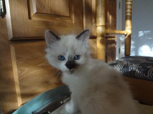 Persian cat rescue in austin texas