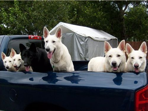 White and black German Shepherds. I love my white shepherd but more than one is too much for me ha ha they require a lot of attention and exercise and eat like a horse ; )
