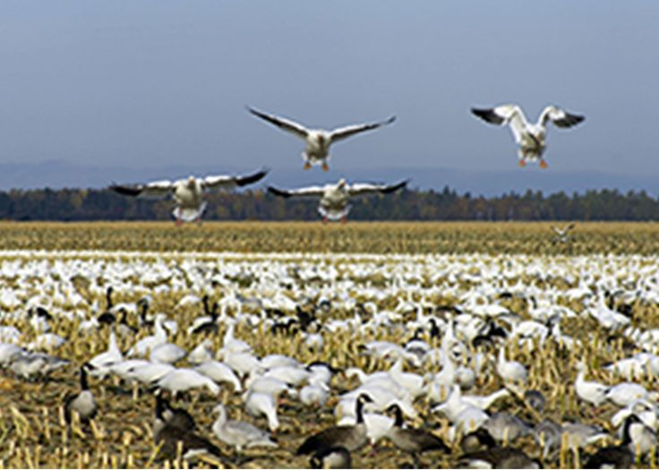 If you are an avid hunter looking for some thrilling fast paced action and to lengthen your waterfowl hunting season, then spring snow goose hunting is the activity for you... http://www.showmesnowgeese.com/the-popularity-of-spring-snow-goose-hunting-in-missouri/