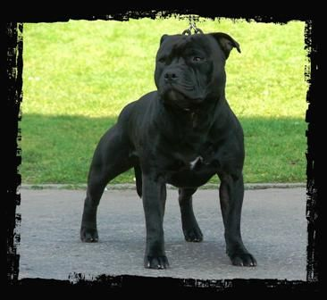 Staffordshire Bull Terrier Small Sized Dog Breeders