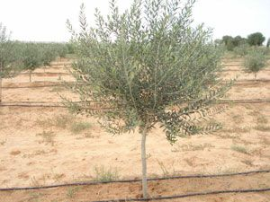 arbequina olive tree - semi dwarf variety that bears olives