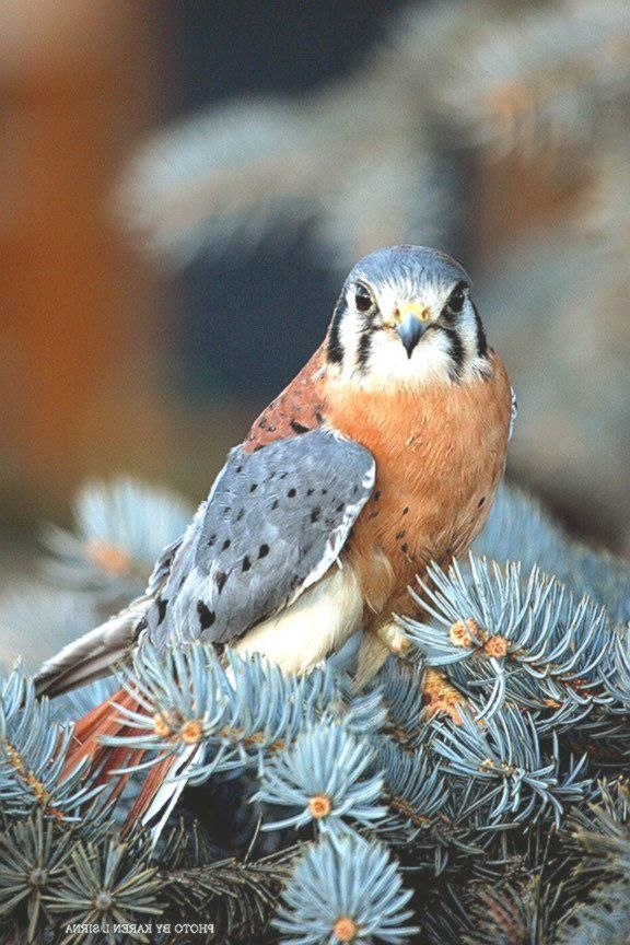 American Kestrel- Karina Koenig-Johnson #American #birdsofprey #Karina #Kestrel #KoenigJohnso...