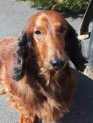 Stewie is an adoptable Dachshund Dog in Highland, IL. Stewie is a very, very sweet and laid back 25 lb long hair standard dachshund that is 5 yrs. old.    He was turned into rescue because the family ...