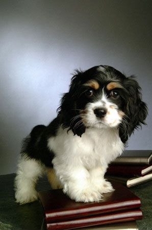 Cocker Spaniel Love.Spaniel Puppies, Puppies Pictures, Puppies Dogs, Baby Baby, Springer Spaniels, Cutest Puppies, Cavalier King Charles, Cocker Spaniels Puppies, King Charles Spaniels