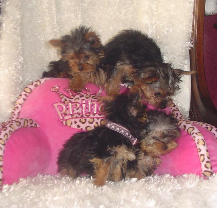 Dakota yorkies little designer puppies yorkie puppies