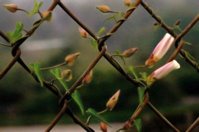 """CHAIN LINK FENCE : Turn your """"repurposed"""" chain link fence into a living fence.  This site has some great suggestions for what plants to choose!"""