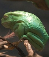 """Chemical used substrate for the frog's skin stimulant drug used to race horses. They do not feel pain and develop a sense of excitement and euphoria. """"Hdrmorafin is the frog's skin type Filomdozh Subag'i (wild) also known as waxy monkey tree frog."""" Lick a #frog #drugs #High #SUPERHIGH"""