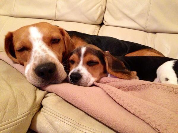 Mama.Beagle & her Lil Beaglet