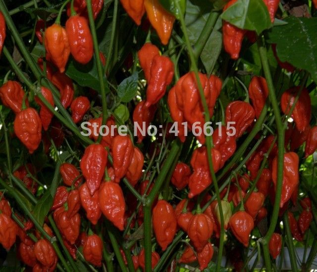 Naga Morich - Chilli Pepper - Capsicum Chinense - 50 Bonsai Vegetable Seeds - Extremely Hot !