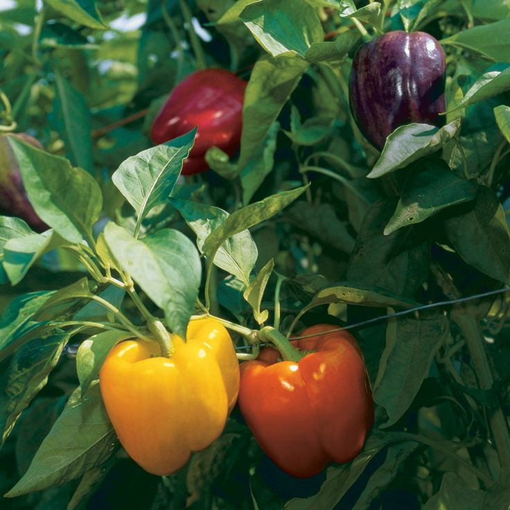 """Good advice on growing peppers! """"If rainbow colors are your thing, plant some bell peppers. You can get a color burst of peppers from one variety. Islander is a chameleon, turning green, yellow, purple, orange, and red."""""""