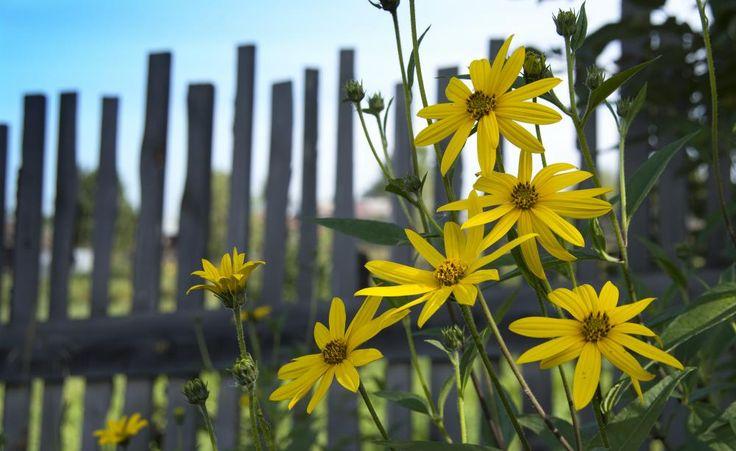 Topinambur, die essbare Sonnenblume -  m 17. Jahrhundert galt die Topinambur in der Pariser Haute Cuisine als Delikatesse, bevor sie von der Kartoffel verdrängt wurde. Nun erlebt sie in der modernen Küche ein Revival. Das Besondere an ihr: Sie ist für Diabetiker geeignet und hilft erwiesenermaßen beim Abnehmen.