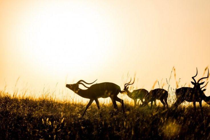 Импалы в заповеднике Масаи-Мара в Кении.    Читать больше: https://zhizninauka.info/topics/samye-interesnye-foto-zhivoj-prirody-za-proshedshuyu-nedelyu/