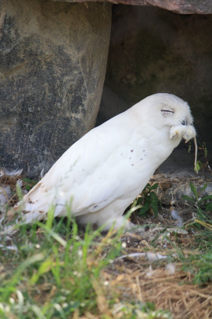 Hungry snowy owl