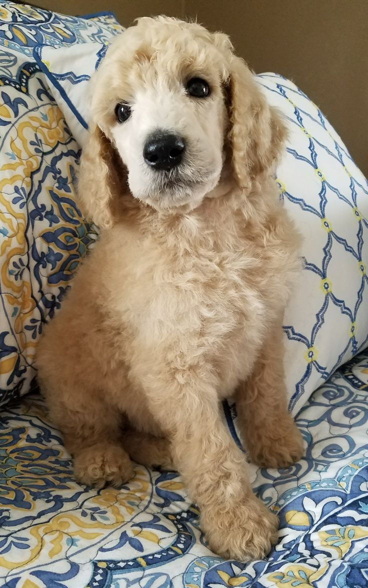 Pin by Lisa Sarrett on Cute, LOL Poodle puppies for sale