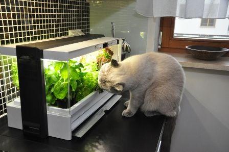 Uprawiaj jedzenie dla... kota! On naprawdę uwielbia jeść sałatę... #GreenFarm  #ZdroweWarzywa  #UprawiamToSam #Hydroponika #Hydroponic #Sałata #IndoorGarden #GrowYourOwn #LifeStyle