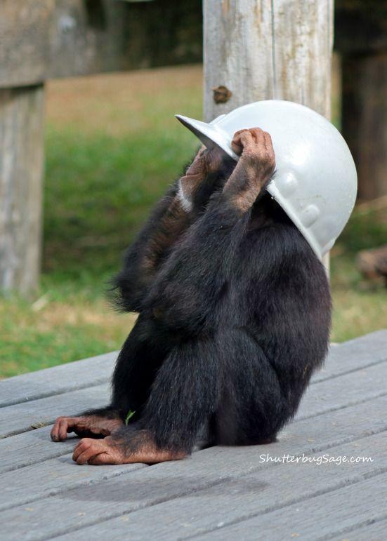 Two-and-a-half-year-old chimpanzee youth, Nkurukoto, at the Sunset Zoo in Manhattan, Kansas.