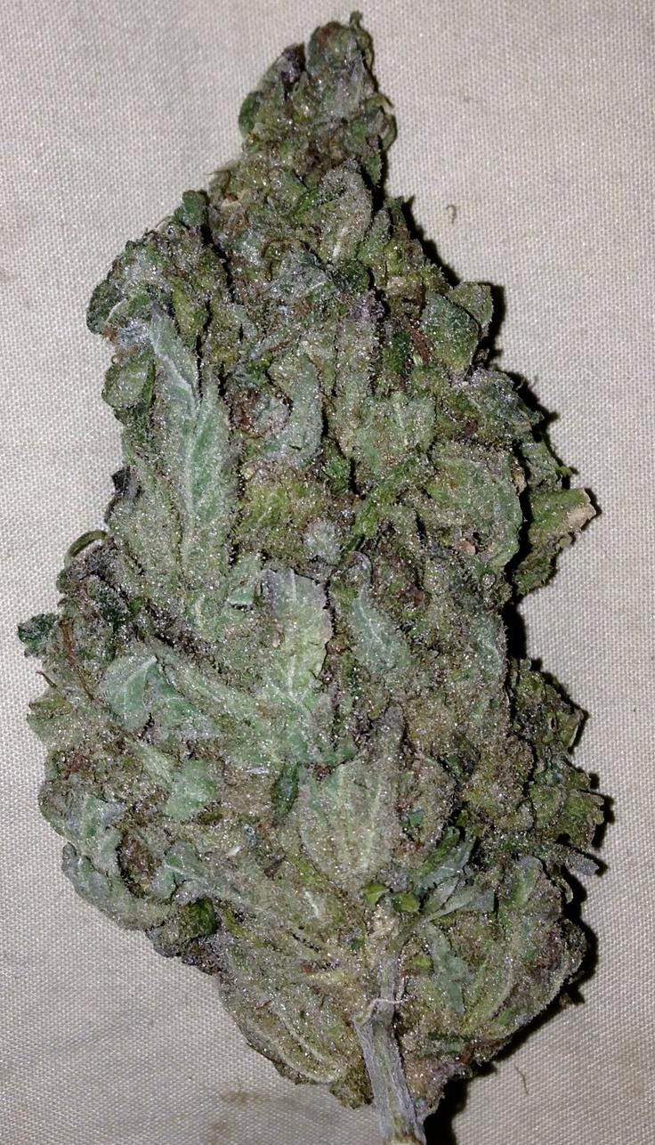 cannabis sativa marijuana a street drug About marijuana abuse what is marijuana and extracts of the plant cannabis sativa and several closely marijuana-related drug rehabilitation admissions.