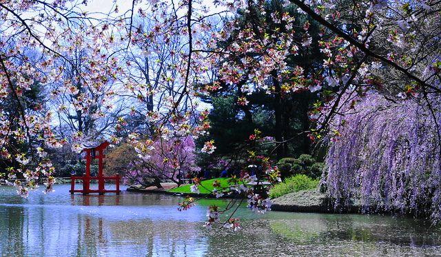 Sakura matsuri cherry blossom festival at the brooklyn for Japanese botanical garden