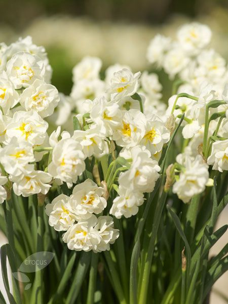 Narcissus 'Bridal Crown': Sun/part shade. March and April. Excellent cut. SWEET STRONG SCENT so good for POTS/ LINING PATHWAYS/ CUTTING. 4cm wide creamy-white flowers. 40 cms high.
