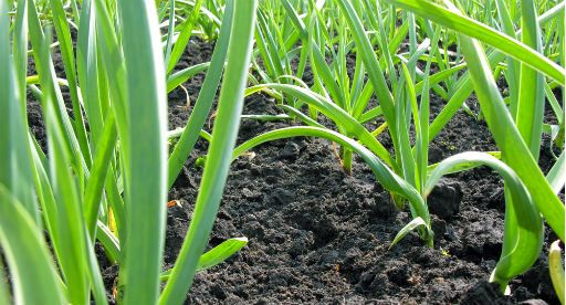 Tui Garden | Garlic Growing Guide