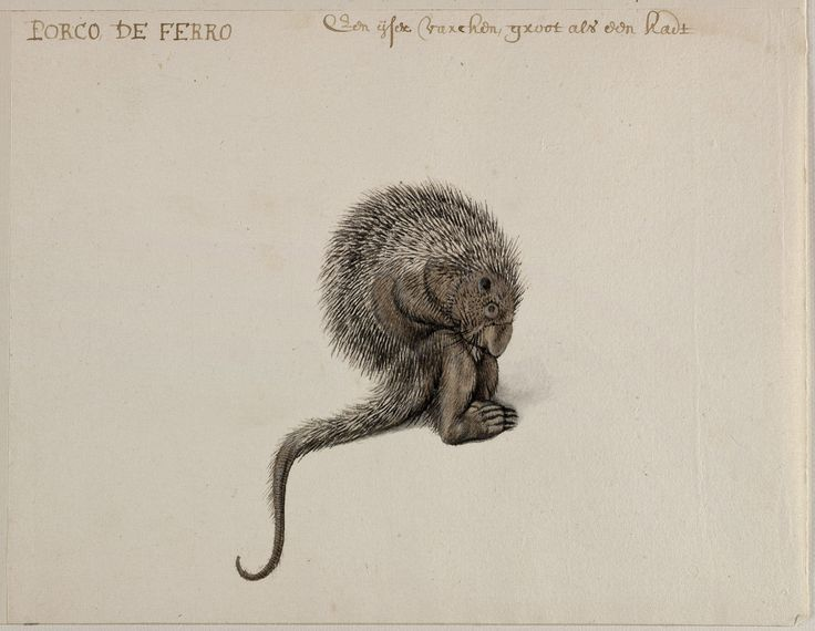 Brazilian Porcupine, Frans Post (1612–1680), watercolor and gouache, with pen and black ink, over graphite, c. 1638–1643. Noord-Hollands Archief, Haarlem