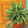 Chinese Evergreen  This plant has great foliage; the leaves are punctuated with shades of silver, gray, or shades of green making Chinese evergreen an attractive choice to brighten low-light areas of your home. Take a cue from shopping mall plantings and use Chinese evergreen as a ground cover around an upright, treelike houseplant. Or showcase it alone as a specimen plant.  Why We Love It: It's extra tough and has attractive leaves that brighten low light spots.  Name: Aglaonema commutatum