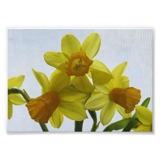 Sunny Yellow Daffodil Flowers  photo prints http://www.zazzle.com/sunny_yellow_daffodil_flowers-190455538626513986?design.areas=%5bdynamic%5d&rf=238412905592140161