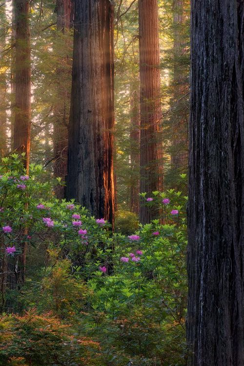 Spring in the Giant Redwoods, Northern California.