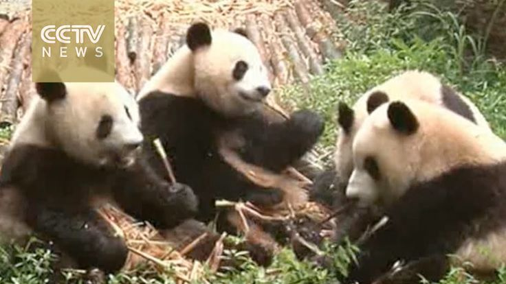 "The giant panda has been removed from the list of endangered animals. The International Union for Conservation of Nature now classifies the panda as ""vulnerable."" Panda numbers have increased in the wild in southern China. At the end of 2015, the panda population reached 1,864, increasing from about 1,100 in the year 2000."