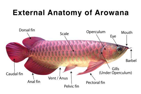 Buy Arowana Fish Online Arowana For Sale Pet Fish Dragon Fish Fish