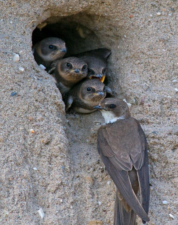 Sand Martins - family of the swallow