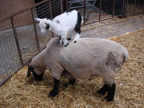 love me some goats!