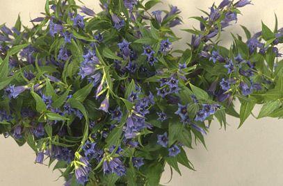 Gentiana asclepiadea, willow gentian