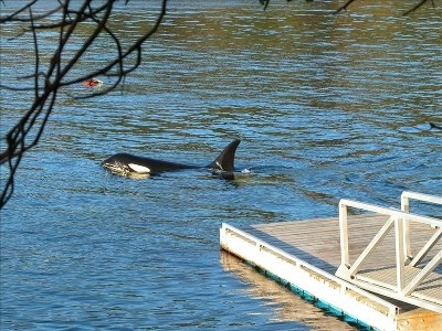 Wild Orcas swim right by the dock.  Gulf Islands, Pender Island, BC, Canada.