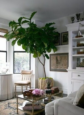 //\\ fiddle leaf fig