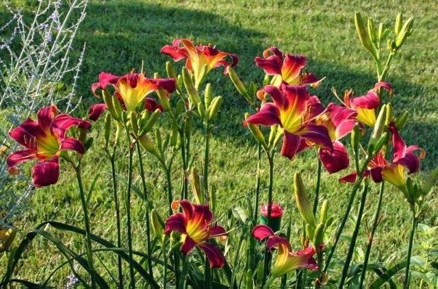 3 секрета цветения лилейников