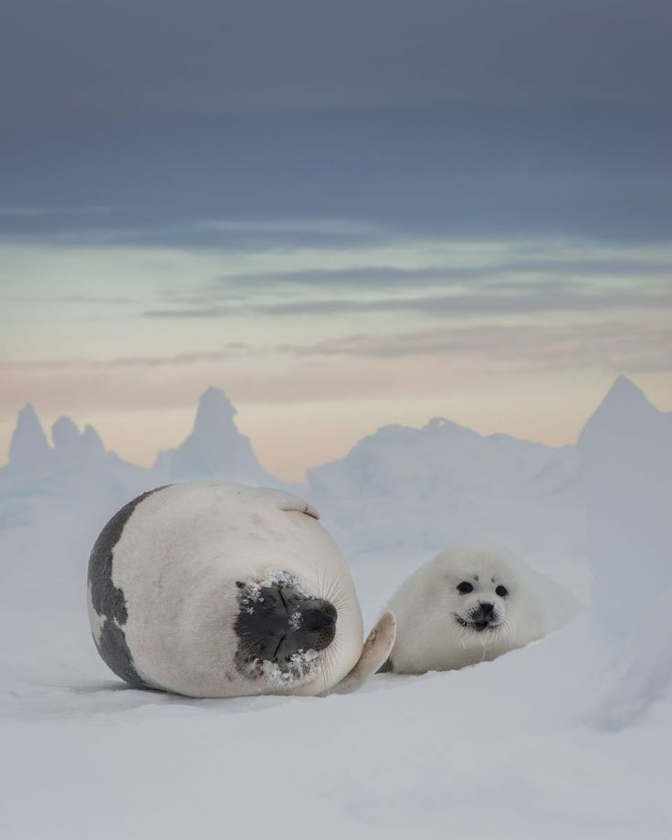 2015 National Geographic Photo Contest | National Geographic - Harp seal mother and pup in Quebec, Canada, by Ellen Cuylaerts