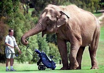 elephant caddyElephant Wood, Animal Antics, Peanut Food, Golf Humor, Golf Caddy, Food Recipe, El Humor, El Golf, Golf Quotes