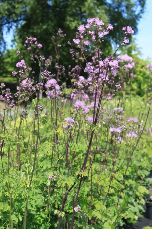 49 best thalictrum images on pinterest plants garden for Thalictrum rochebrunianum rhs