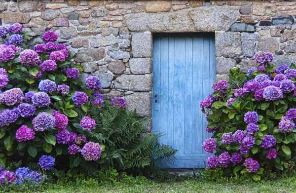 Hortensien strahlen ein besonders romantisches Flair aus und harmonieren mit vielen anderen Gartenpflanzen. Die Blütezeit von Hortensien reicht normalerweise