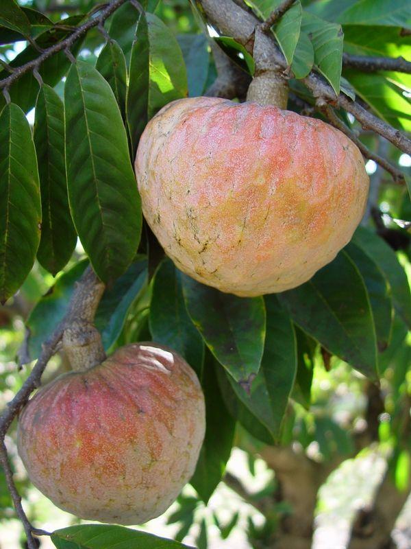 Custard apple or  Bullocks heart