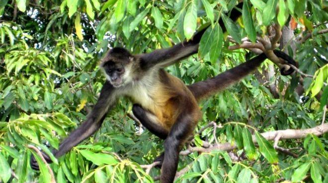 Los pocos que no sufrieron quebranto, como recuerdo de la simpleza de sus corazones se transformaron en monos. POPOL VUH, FRAGMENTO DEL MITO DE LA CREACIÓN