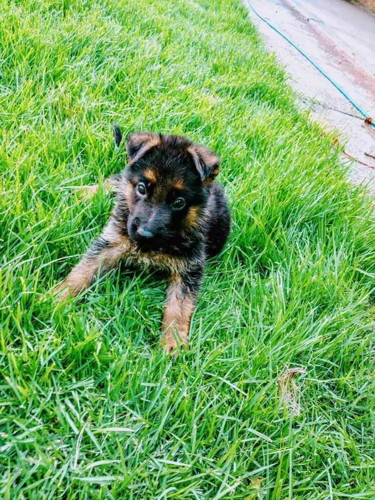 Filhote de pastor alemão ❤ O nome dele é Kirito #cachorros#fofo