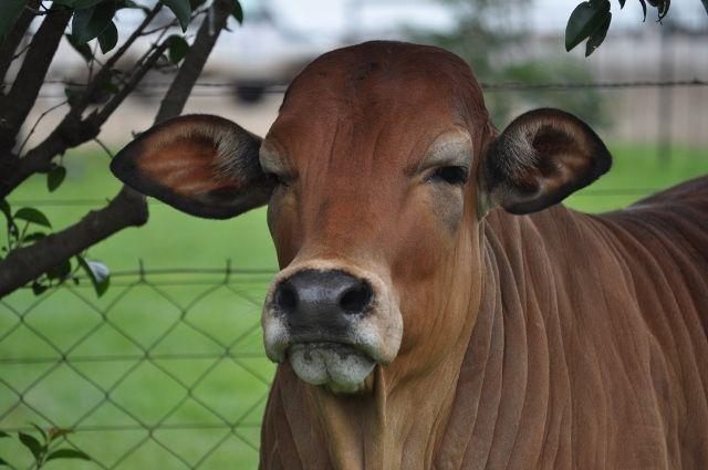 boran cattle - Google Search