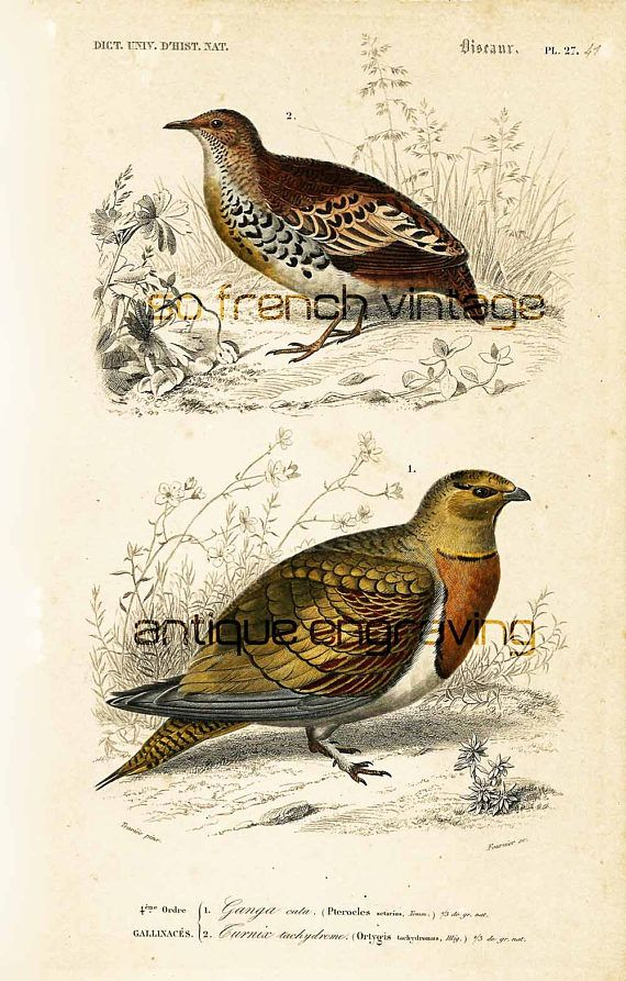 AUTHENTIC  Grouse, #Buttonquail, 1861. Original antique engraving, NOT A COPY This print is taken from the Dictionnaire Universel d'Histoire Naturelle, a publication directe... #orbigny #hunting #fowl #ornithology