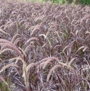 'Rubrum' Purple Fountain Grass, Pennisetum setaceum. Moderate growing 2 to 4 ft. tall, 2 to 3 ft. wide.