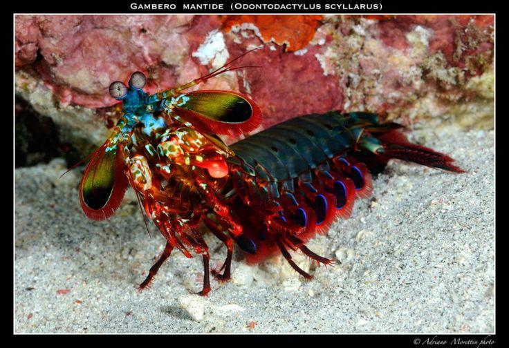 krevetka-bogomol05.jpg (1024×702)