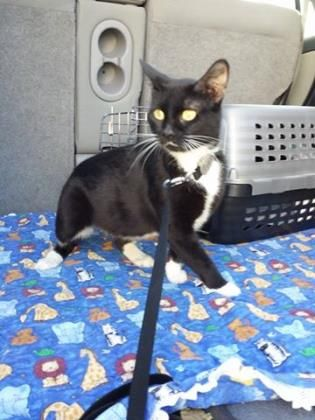 Jinxy here! I am a very snuggly 1.5 year old girl that is done with having babies. They are cute, but a lot of work! I am spayed, vaccinated and microchipped and looking for my forever home! Visit www.cawsab.org to complete an application to adopt me today!