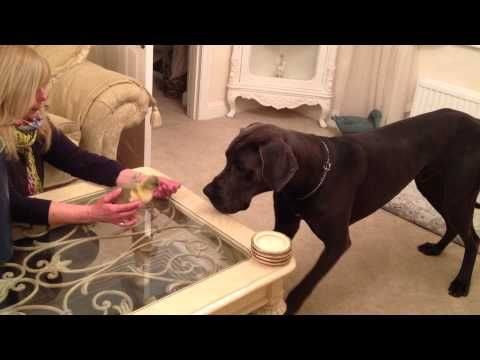 See That Thing On The Table? What's Inside It Completely Baffles This Great Dane!